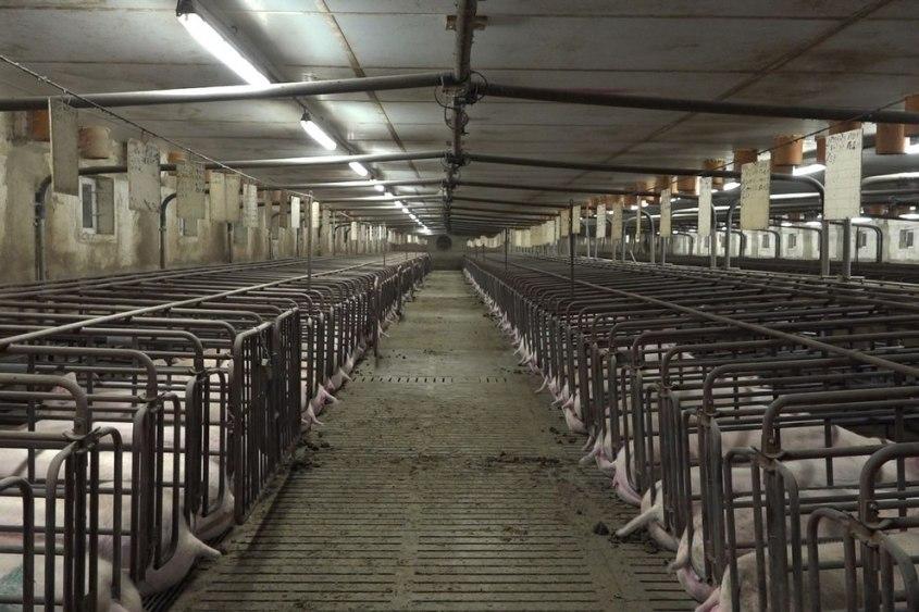 Schweinezucht-Cage -PETA-D
