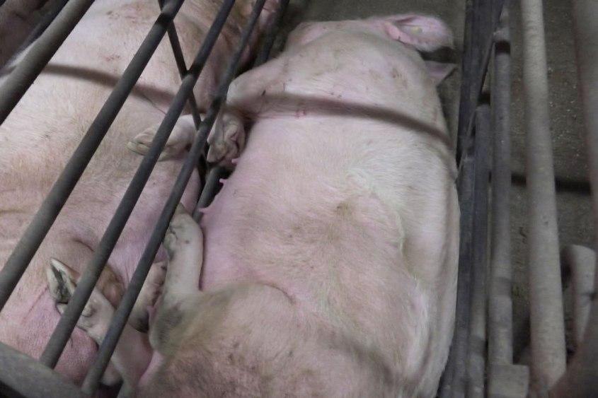 Schweinezucht-PETA-D