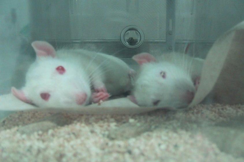 Tierversuche-Mauese-Ratten-für Glyphosat -0247-c-PETA-USA