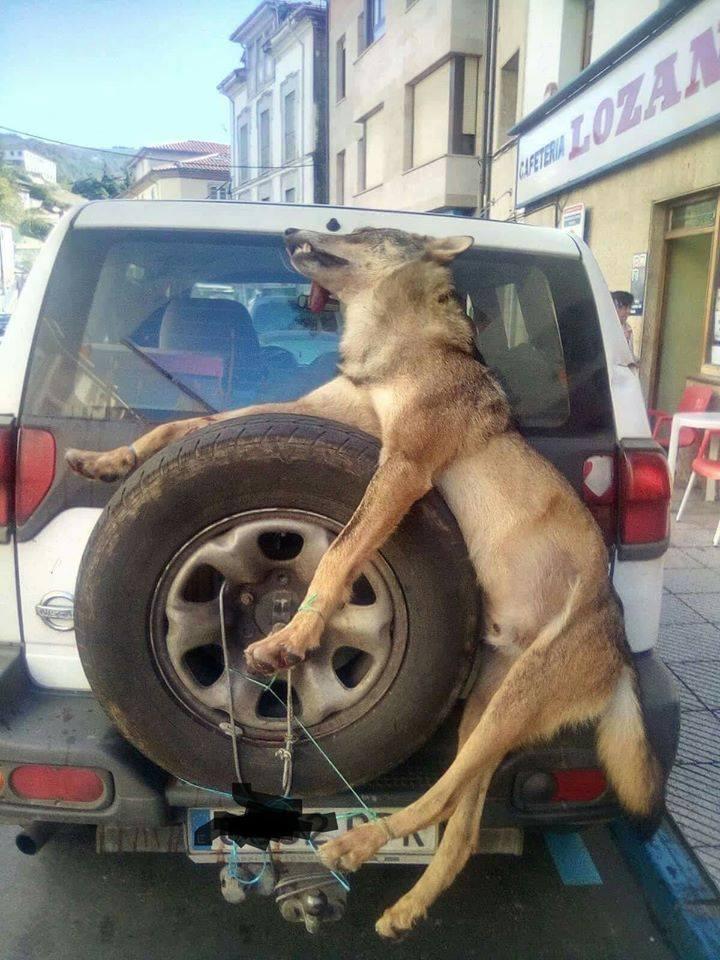 Wolf auf einen Wage geladen