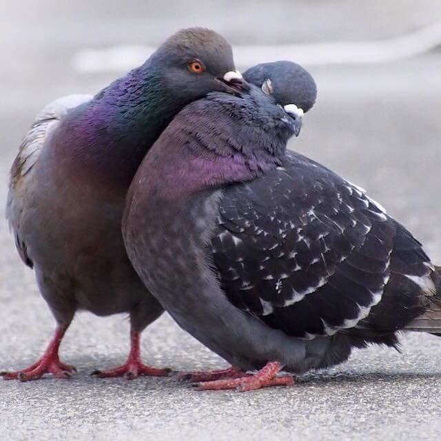 2 schwarze tauben