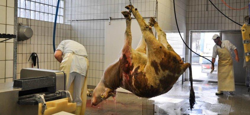 Hängende Kuh im Schlachthof_o