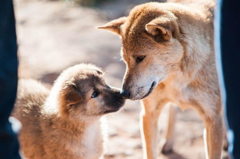 Hunde-Welpe-