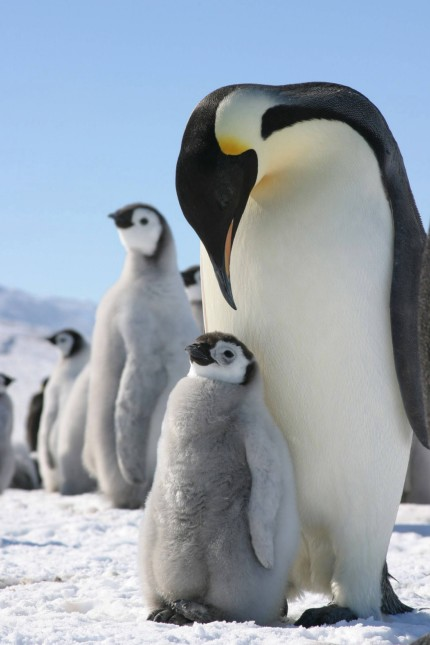 kaiser Pinguin mit Kleinem