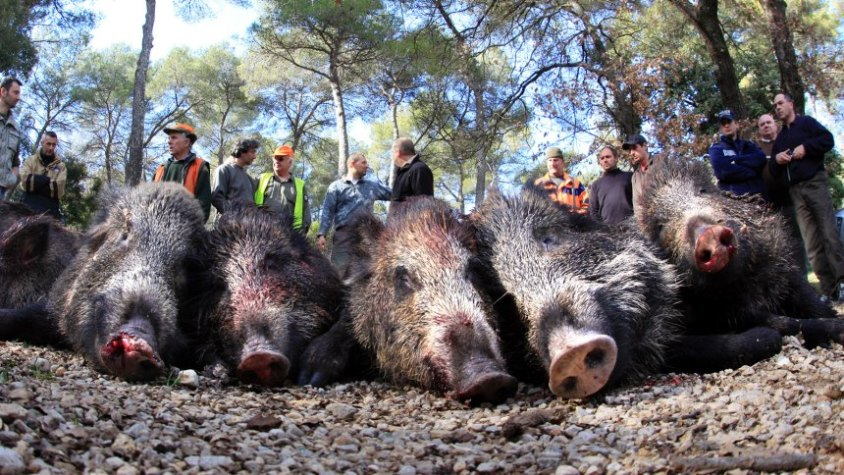 Hunters display boars after a battue in Valbonne