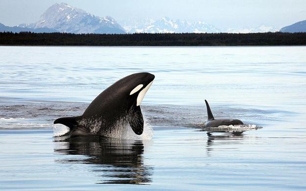 -Orca_Alaska