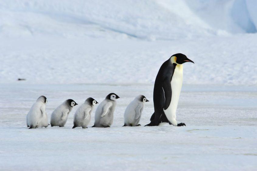 pinguine-mit kleinen