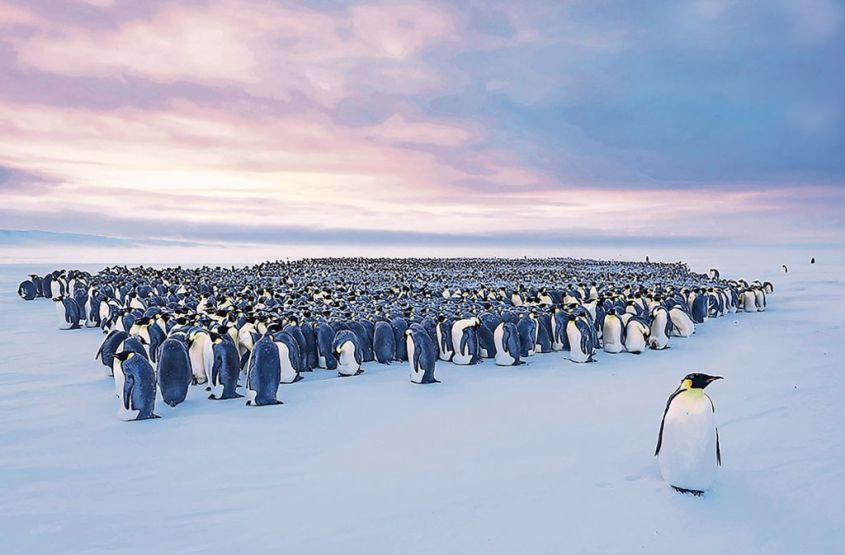 pinguinen koloniepg