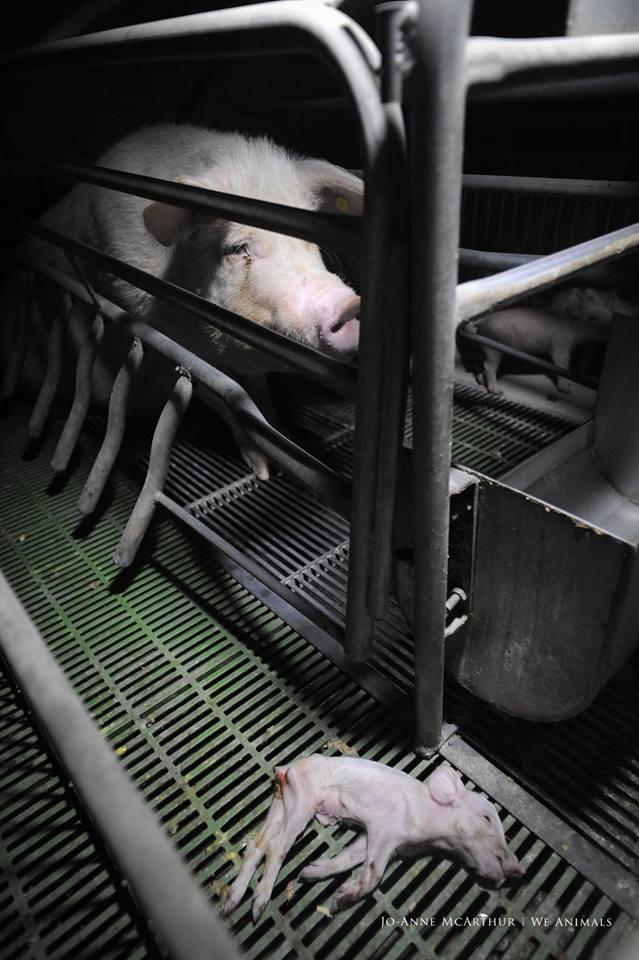 Schönes Foto mit Schwein und Ferkel