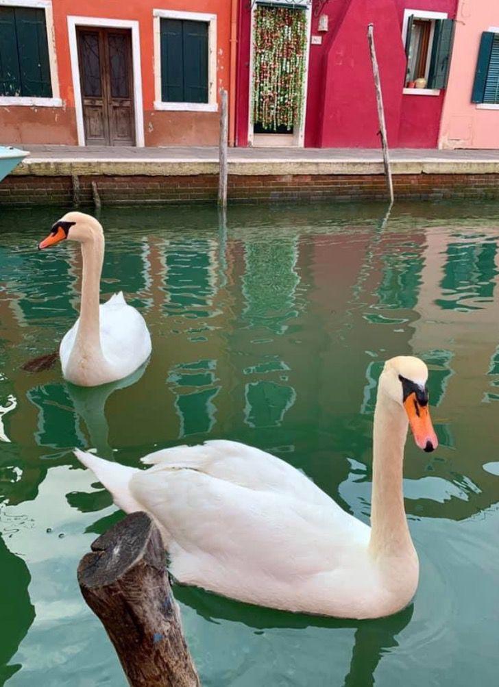schwäne in Venedigt pg