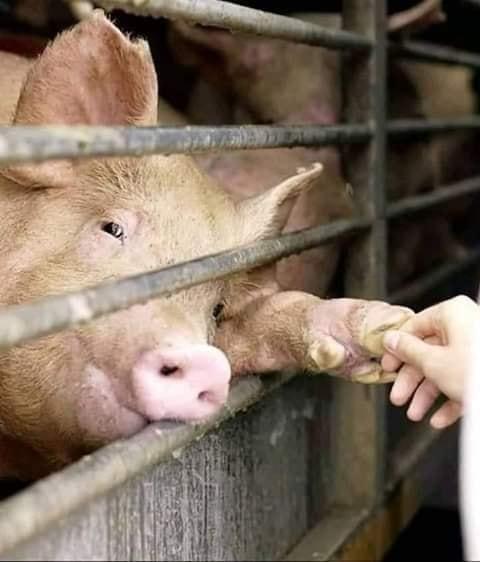 schwein gibt die Handjpg