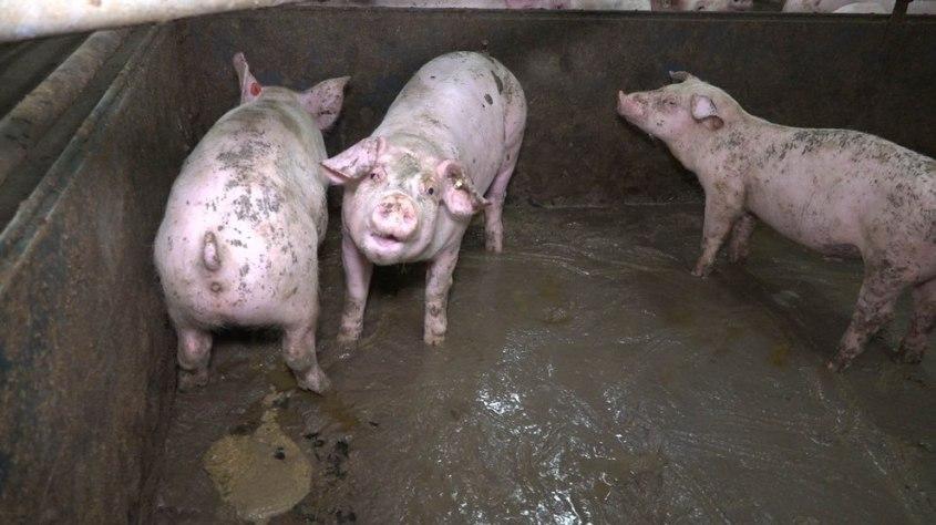 Schweinezucht-Guenthersdorf-Faekalien