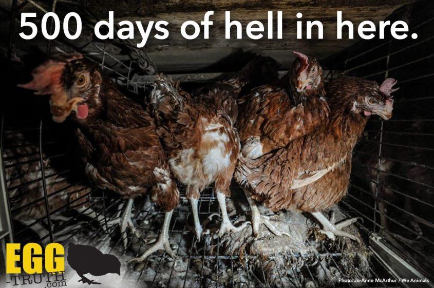 trutz über Hühner_o