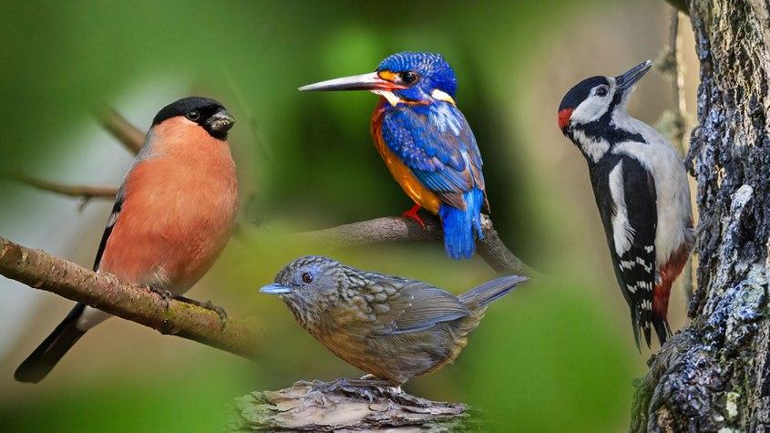 Vögel Dompfaff, Eisvogel, Zaunkönig, Specht