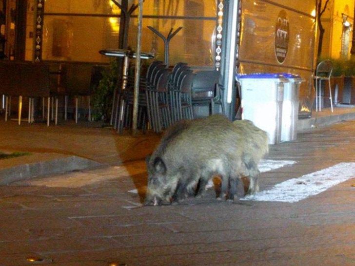 wildschwein venedikt 2