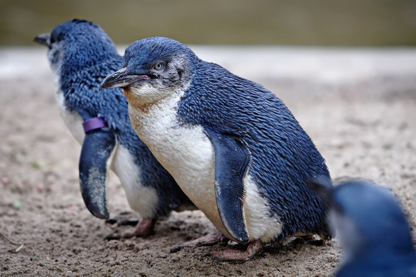 zwerg_penguin
