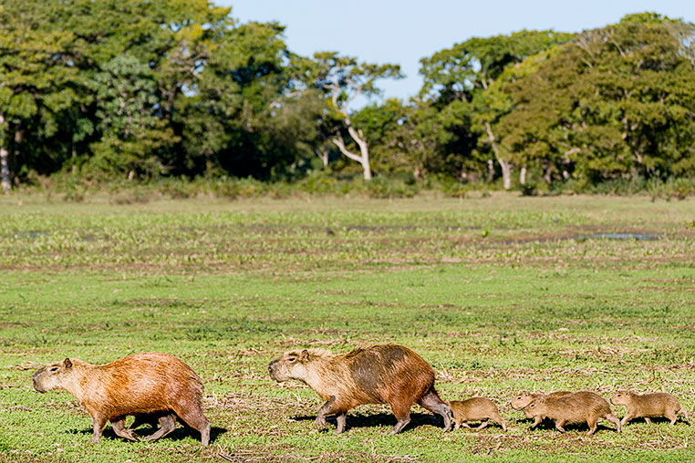-capybara-familie