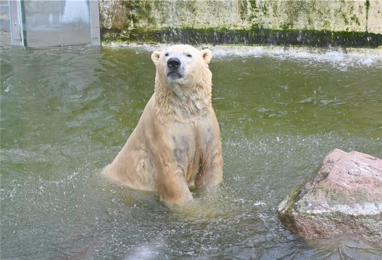 Eisbär-VitusNeumünster-51172