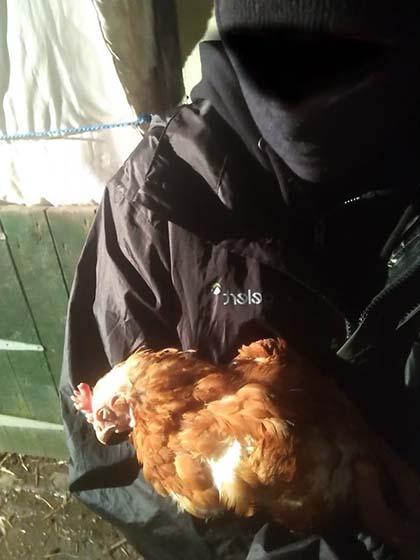 hühner befreit ALF