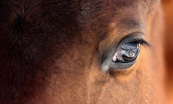 Pferde-Auge-pg