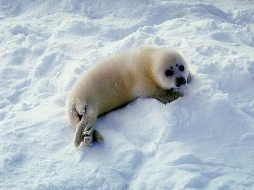 Robben baby