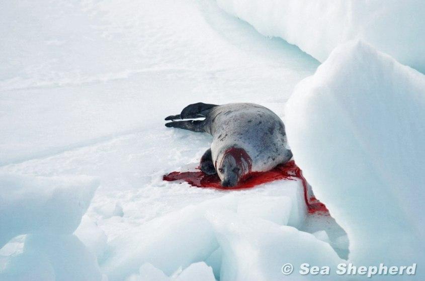 Robbenjagd-Sea-Shepherd-Global1
