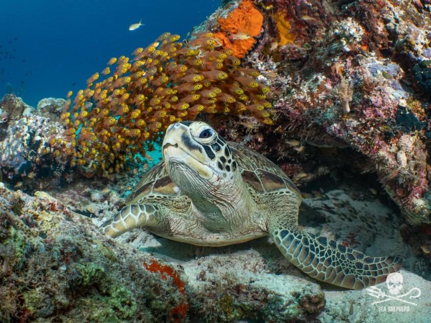 schildkröte sea sheapardpg