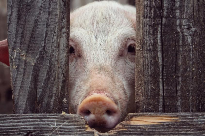 schwein hinter gardinepg