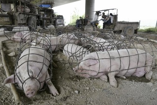 schweine in China