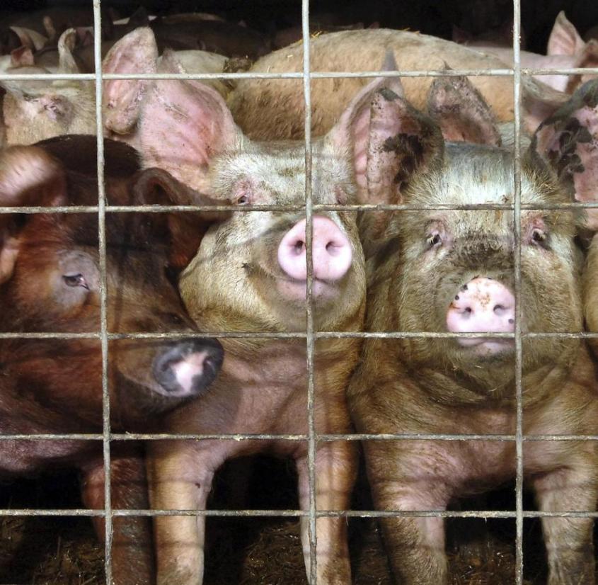 Schweine-in-den-USA