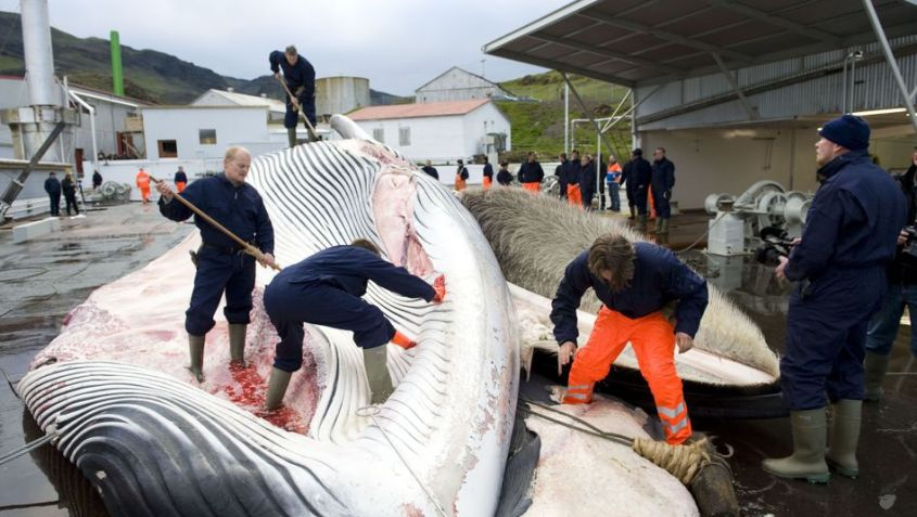 FILES-ICELAND-EU-POLITICS-WHALING