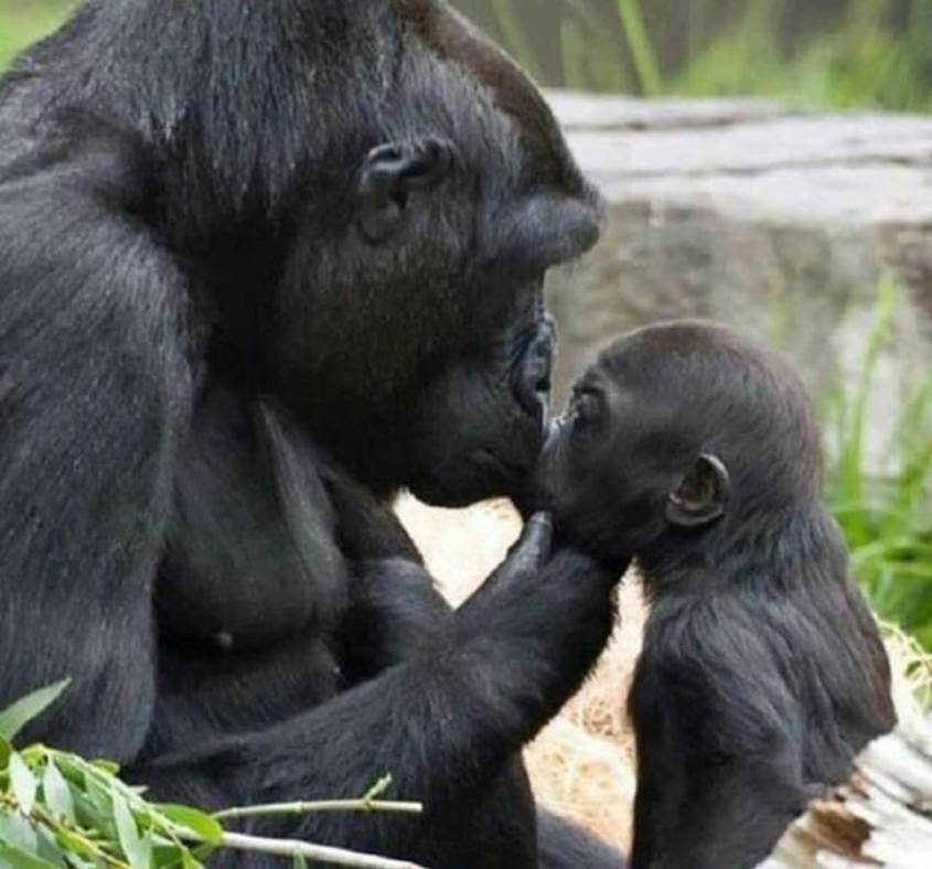 Affen mutter küsst ihr Baby_n