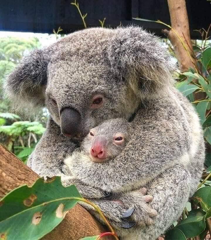 coala mutter mit Kind jpg