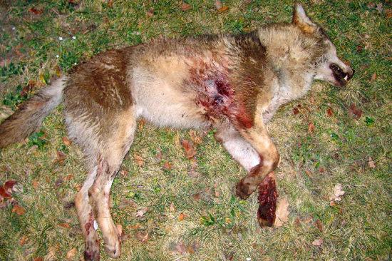 erschoßener Wolf