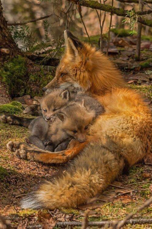 Fuchs mit ihren Kleinen