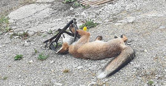 gefangener Fuchspg