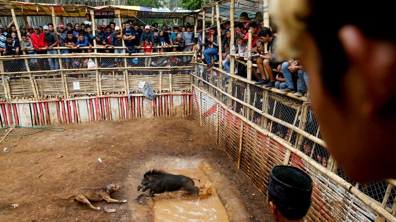 hunde kämpfe gegen schwein Indonesienjpg