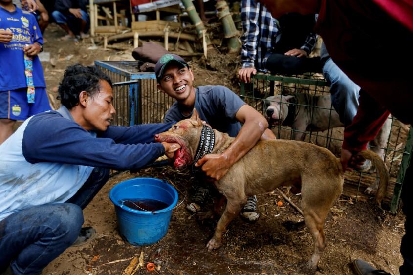 hundekämpfe Indonesien 2 jpg
