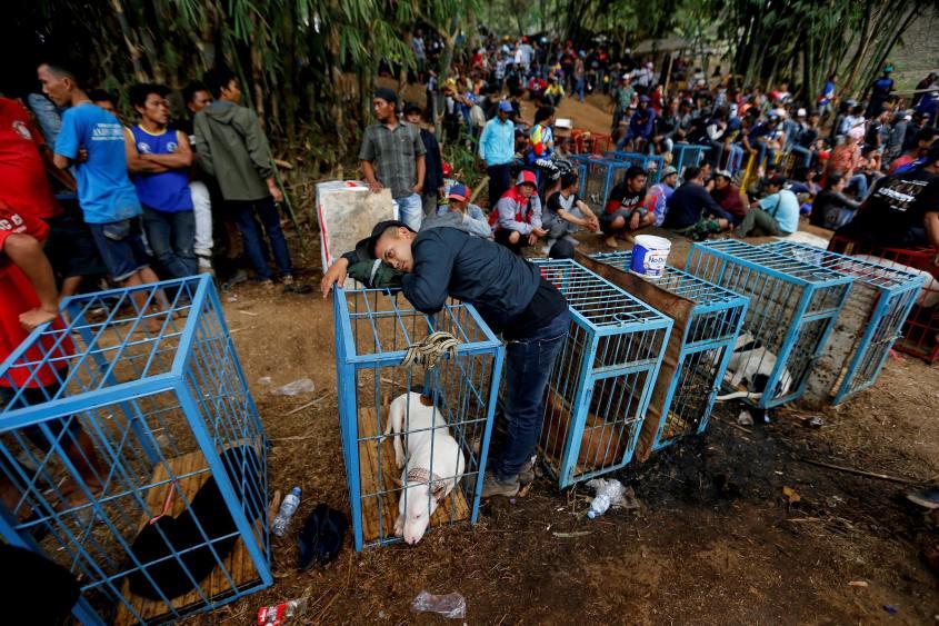 hundekämpfe Indonesienpg