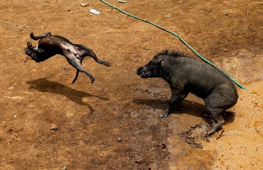 hundekämpfe VS Schwein Indonesienjpg