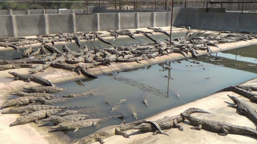 Krokodilfarm-Exotenleder-Zimbabwe-01-c-PETA-USA