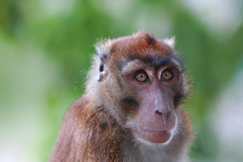 makaka Philippinen jpg