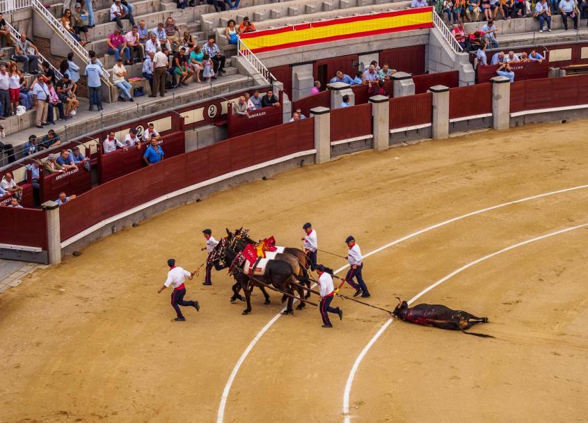 Pferde begleitet von Männern ziehen toten Stier aus Stierkampfarena Jungstierkampf Novillada Picad