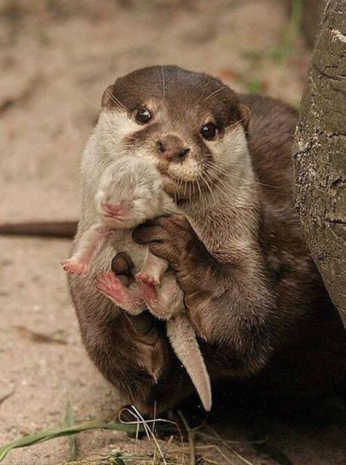 otter mit seinem Baby