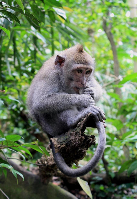philippine_monkey_pg