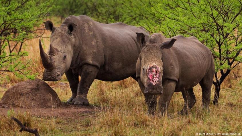 Rhinos ohne Hornjpg