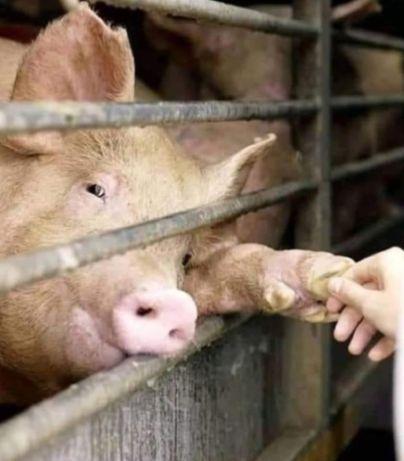 schwein gibt die Pfote jpg
