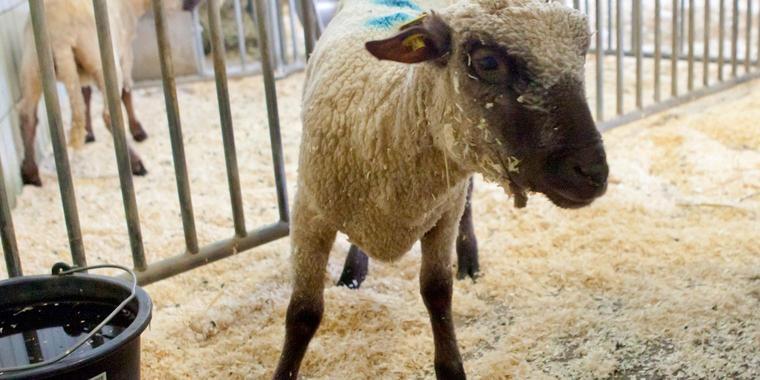 Versuchstier Schafe