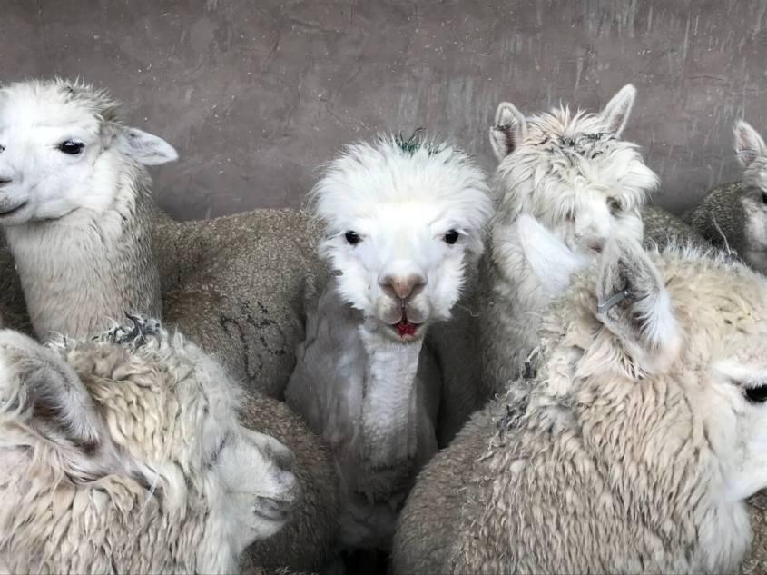alpaca blutend jpg