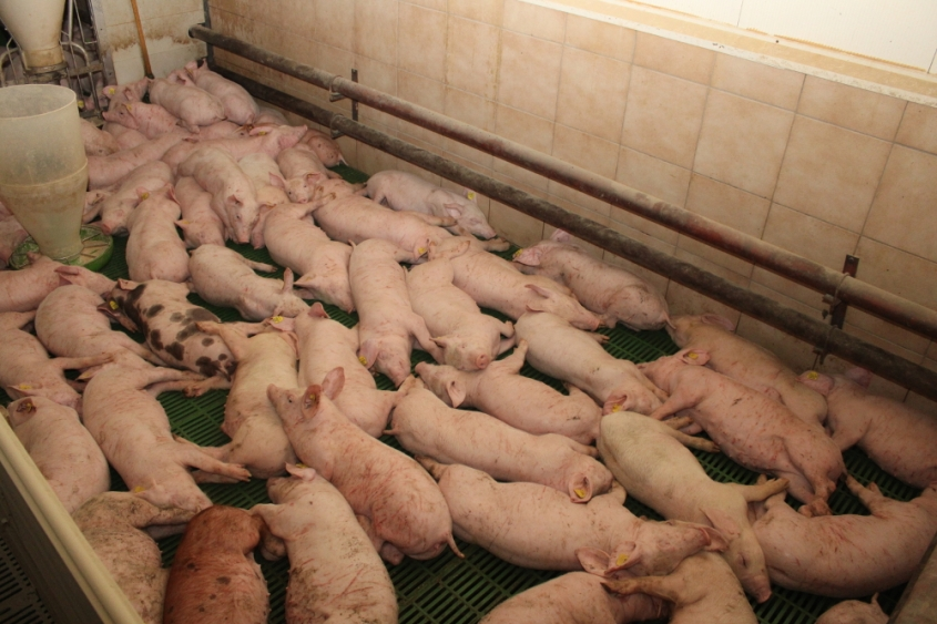 Balluch schweine 4pg